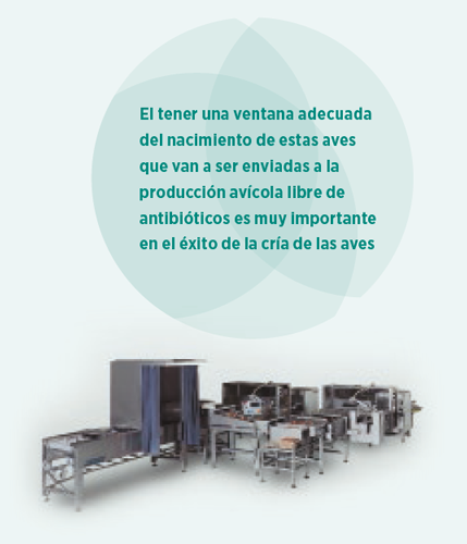 broiler sin antibioterapia